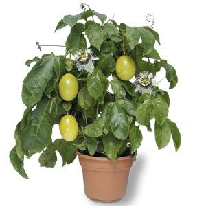 passion fruit in a pot