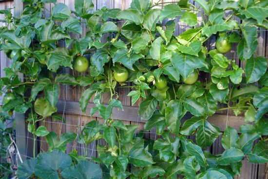 passion fruit fence