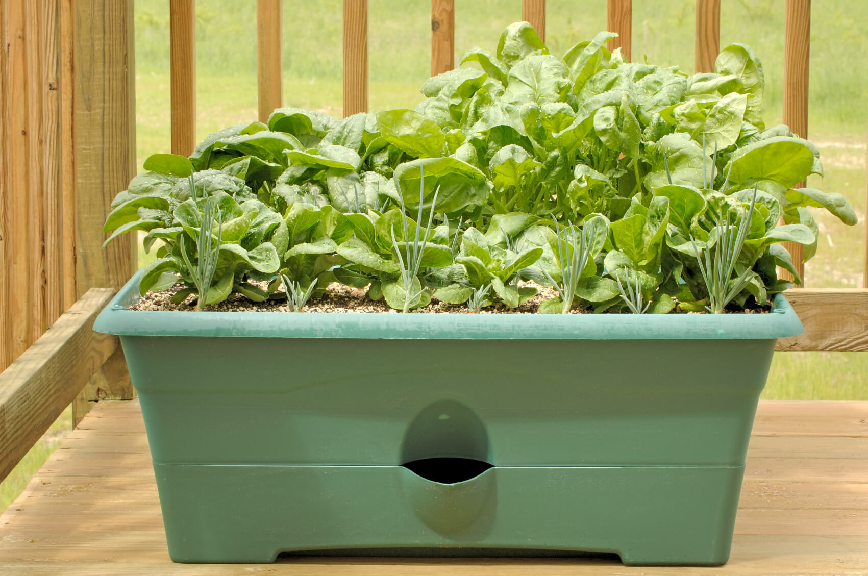 grow spinach in a pot