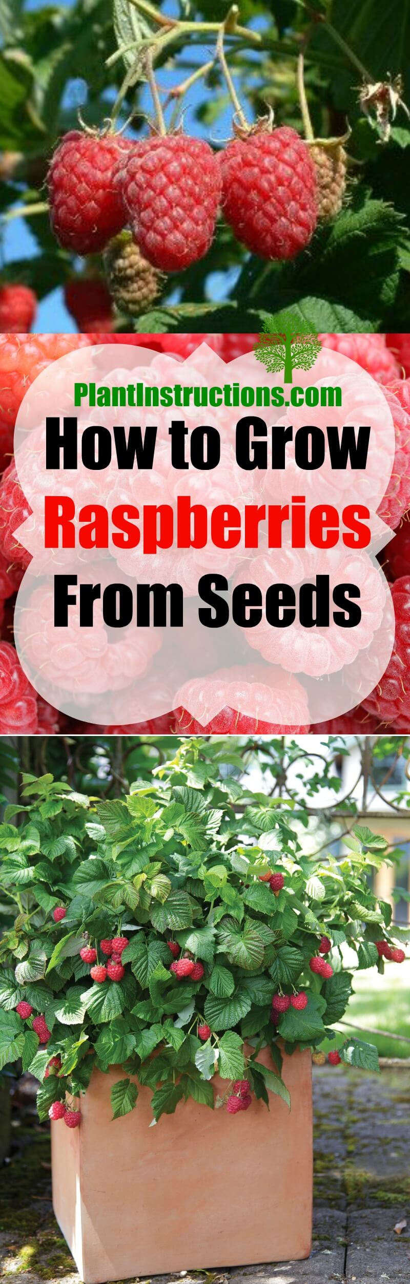 Grow Raspberries From Seeds