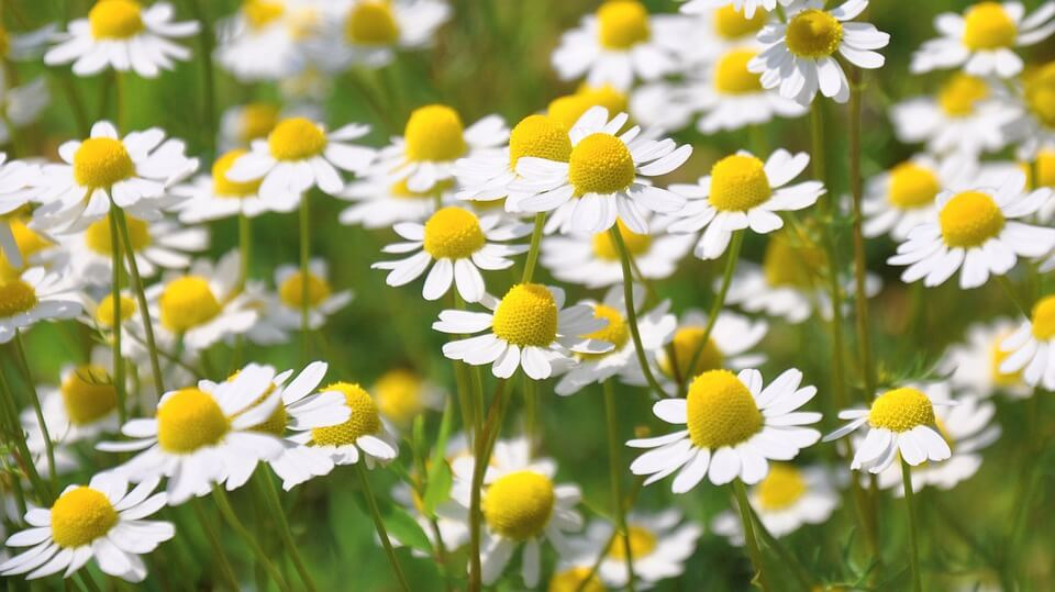 chamomile in field