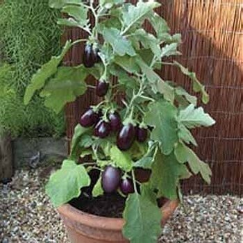 eggplant in a pot