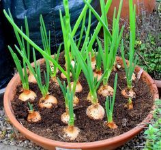 garlic in pot