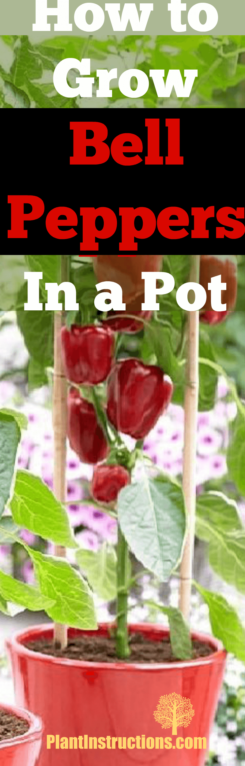 grow bell peppers in a pot