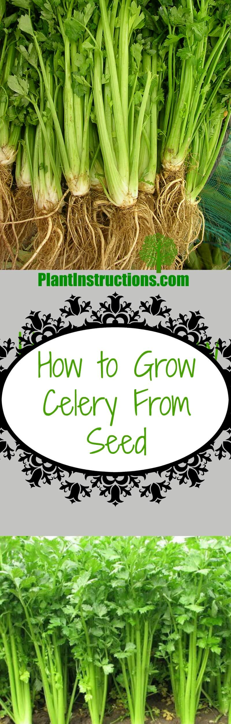 grow celery from seed