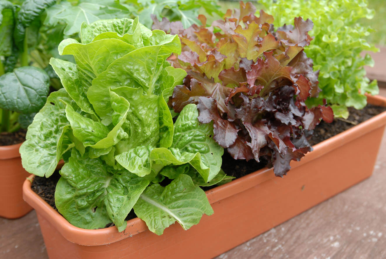 lettuce in container