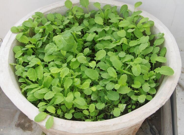 mustard greens in pot
