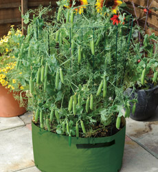peas in pot