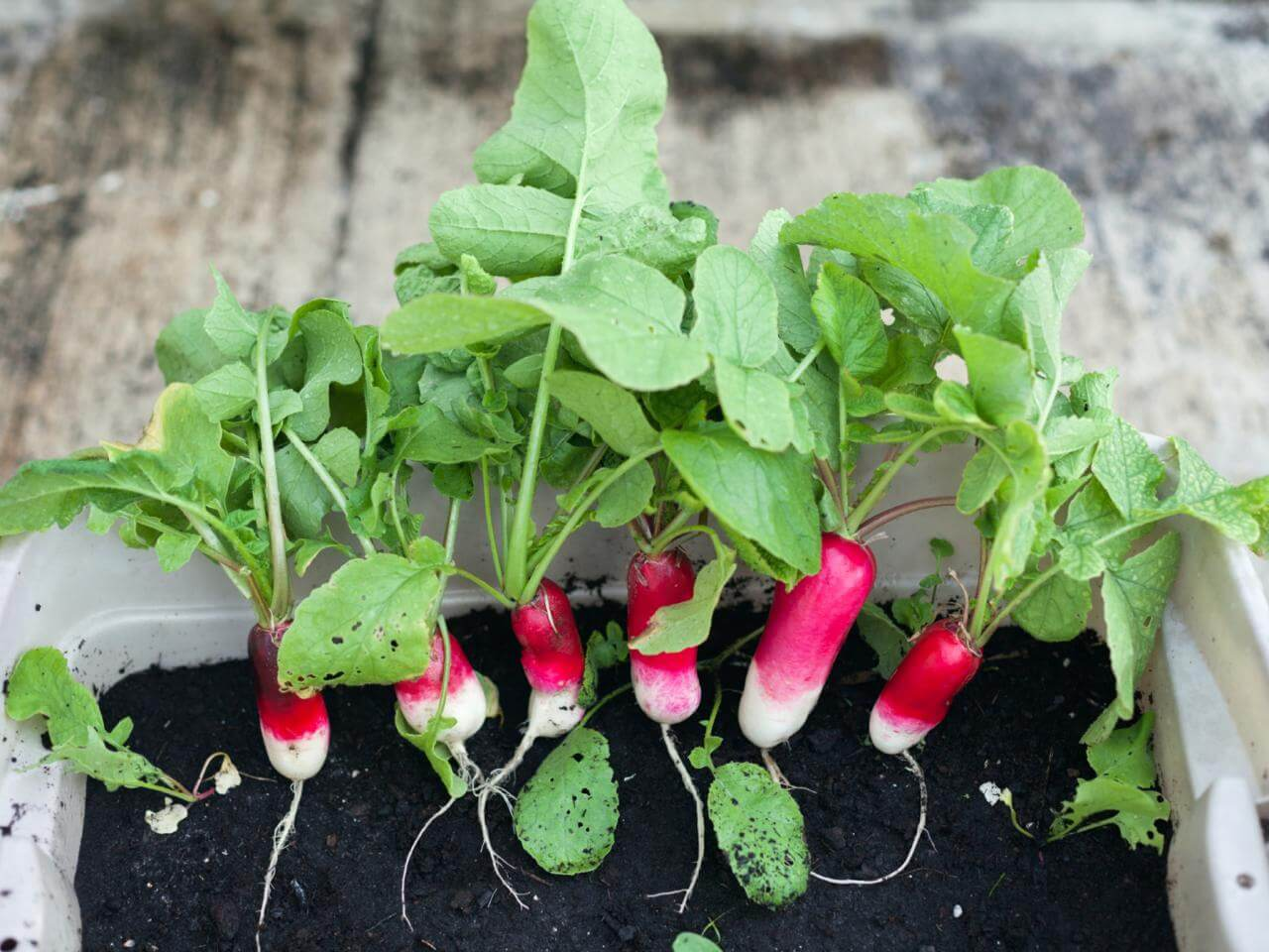 radishes in container