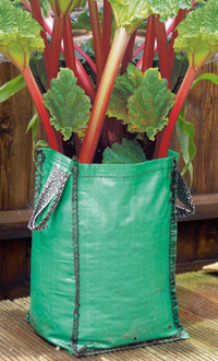 rhubarb in pot