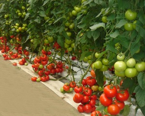 tomatoes in a garden