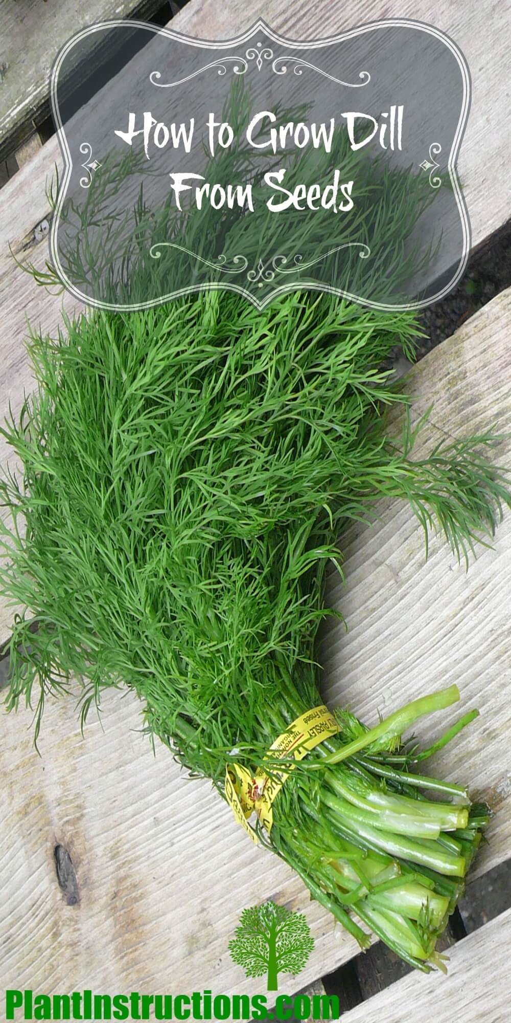 Grow Dill From Seeds