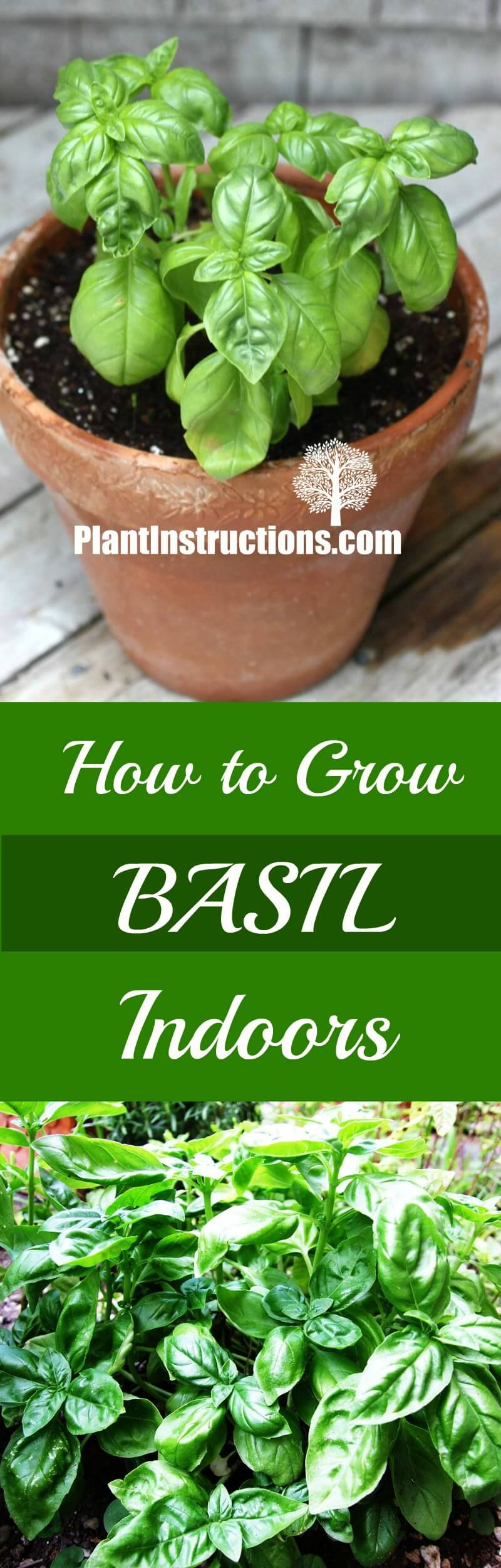 grow basil indoors