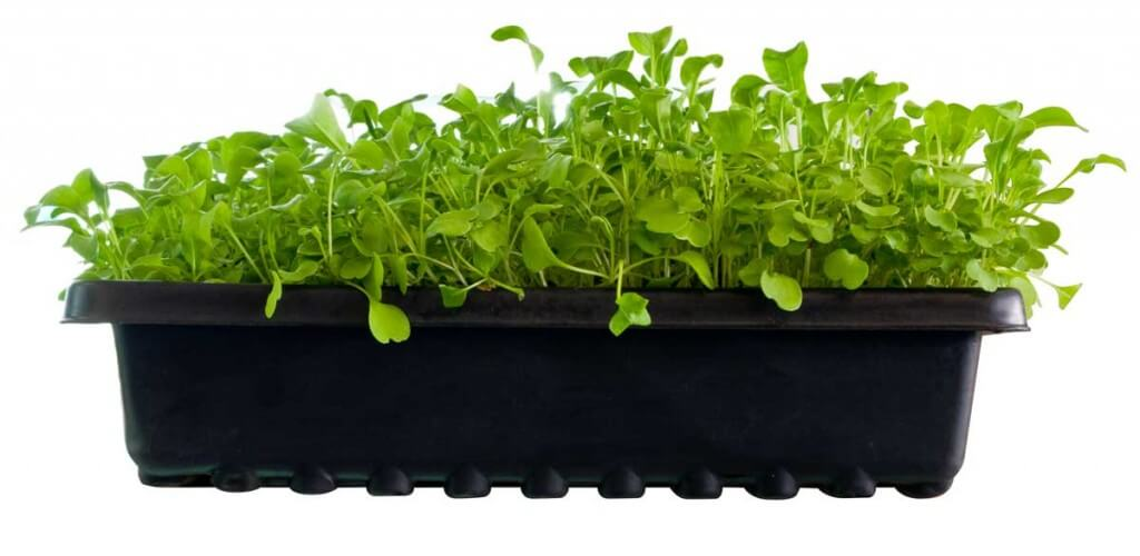 microgreens in containers