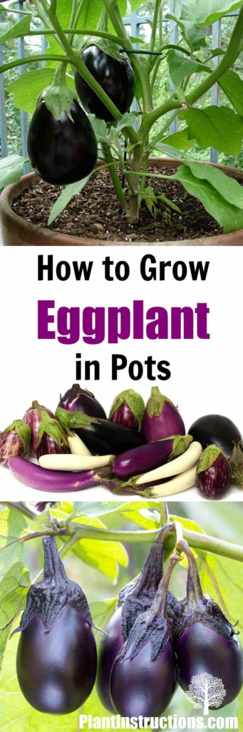 Grow Eggplant in Pots