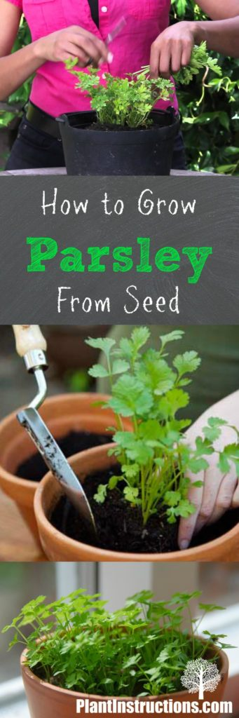 Grow Parsley From Seed