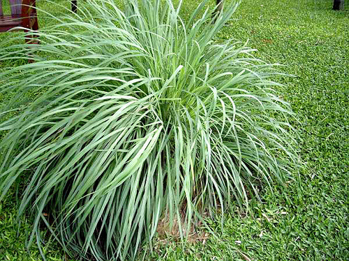 citronella grass