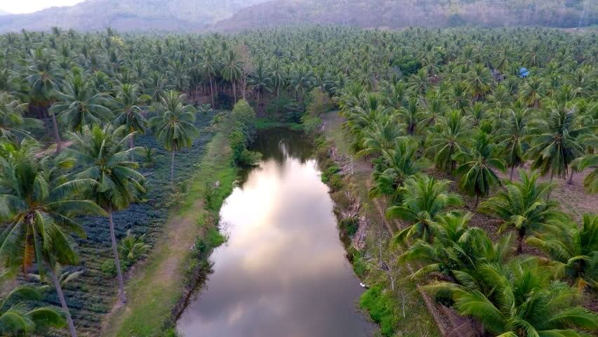 coconut tree farm
