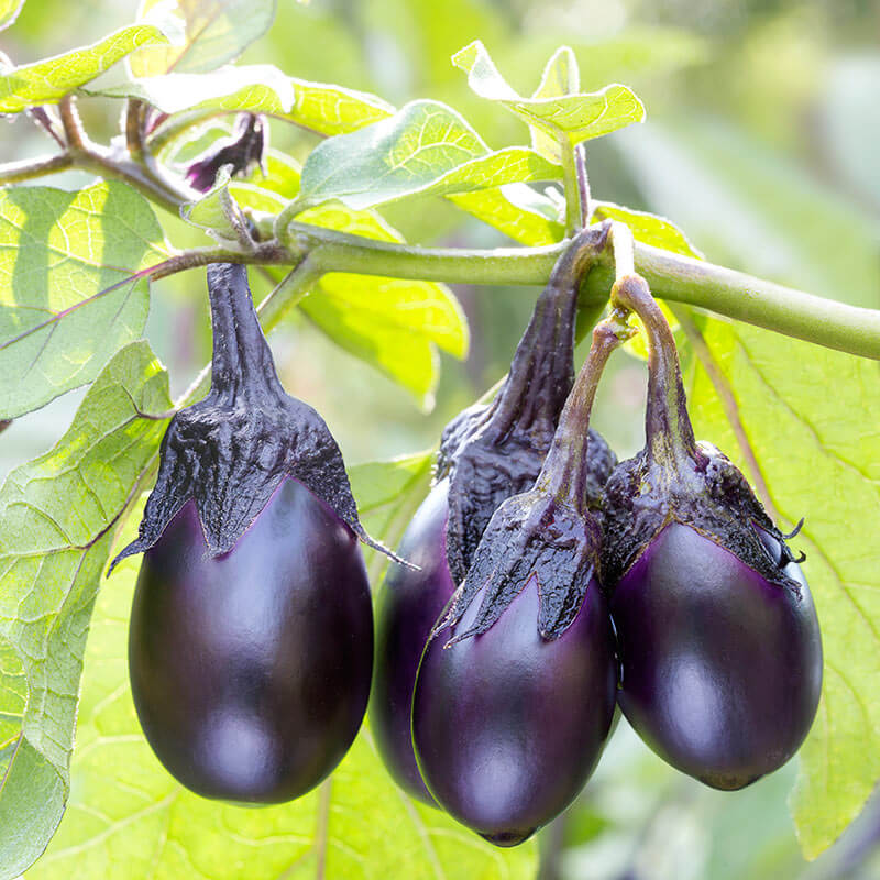 eggplant on the vine
