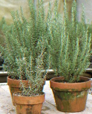 rosemary in pots