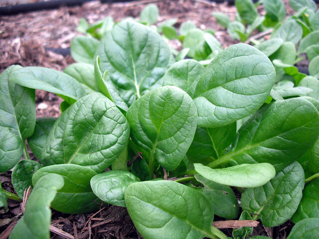 spinach in garden