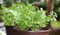 6 Perfect Herbs for Beginner Gardeners