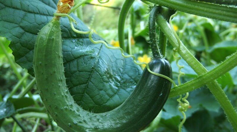 10 high yield vegetables you should plant today plant instructions. Black Bedroom Furniture Sets. Home Design Ideas