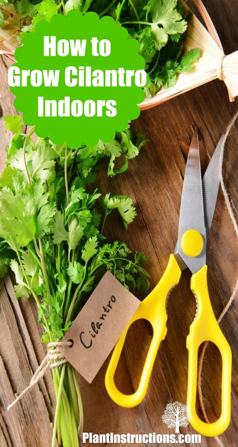 Growing Cilantro Indoors: How To