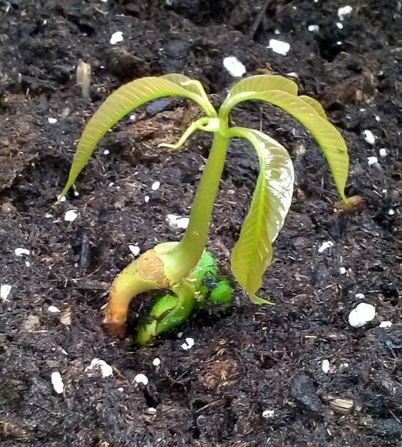 mango tree seedling