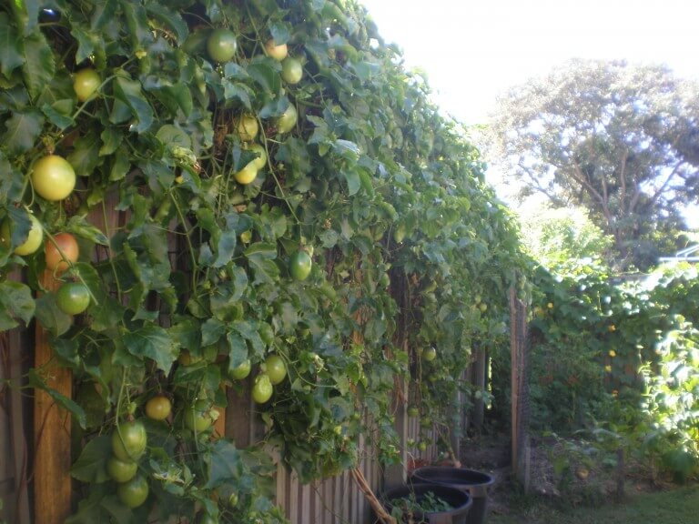 How To Grow Passion Fruit Plant Instructions
