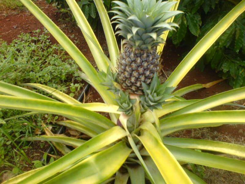 pineapple in the ground