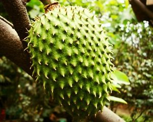 Soursop Plant Picture