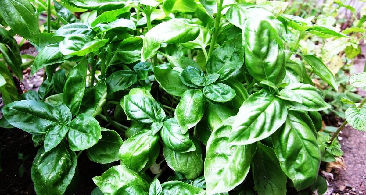 How to Grow Basil Indoors - Plant Instructions