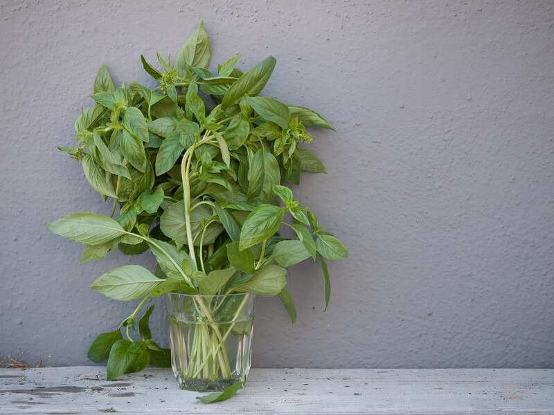 Growing Basil Indoors