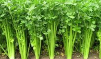 How to Grow Celery From Seed