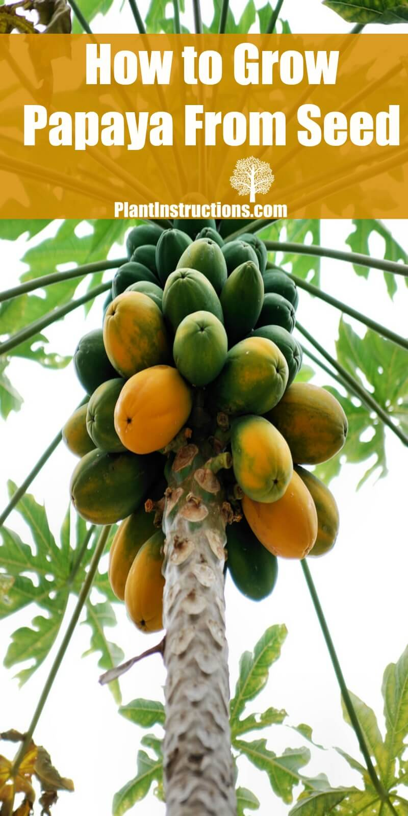 how to grow papaya from seed plant instructions. Black Bedroom Furniture Sets. Home Design Ideas