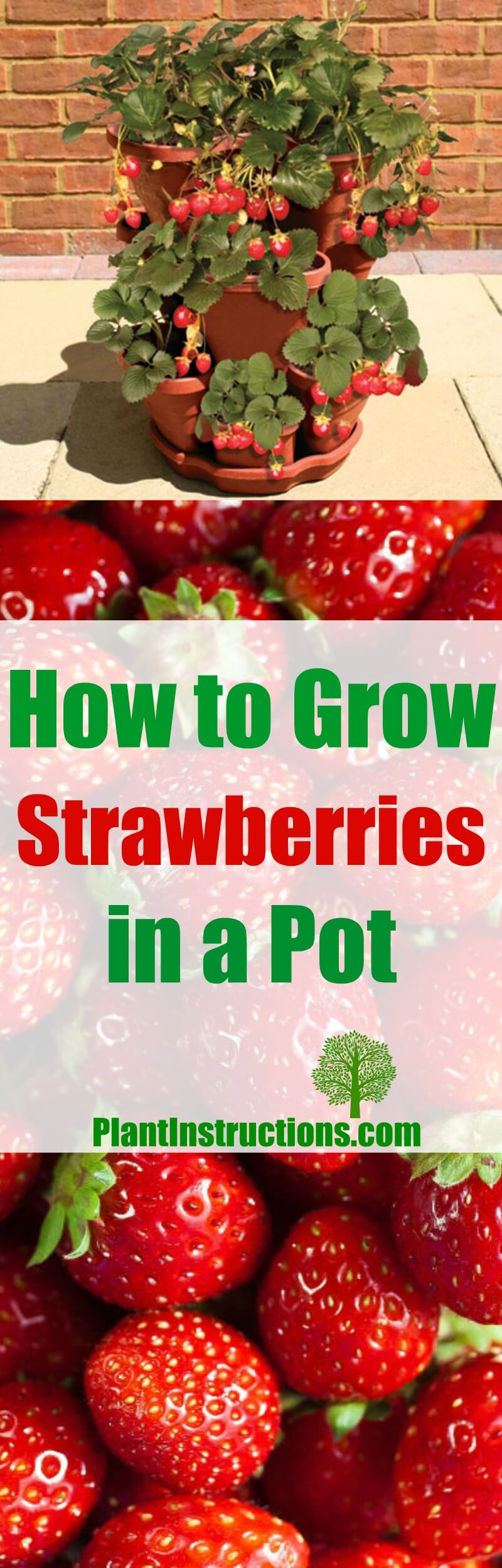 How To Grow Strawberries In A Pot Plant Instructions