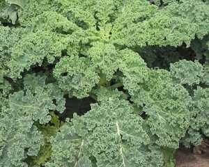 How to Grow Kale in Containers