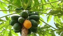 How to Grow Papaya From Seed