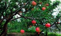 How to Grow Pomegranate From Seed
