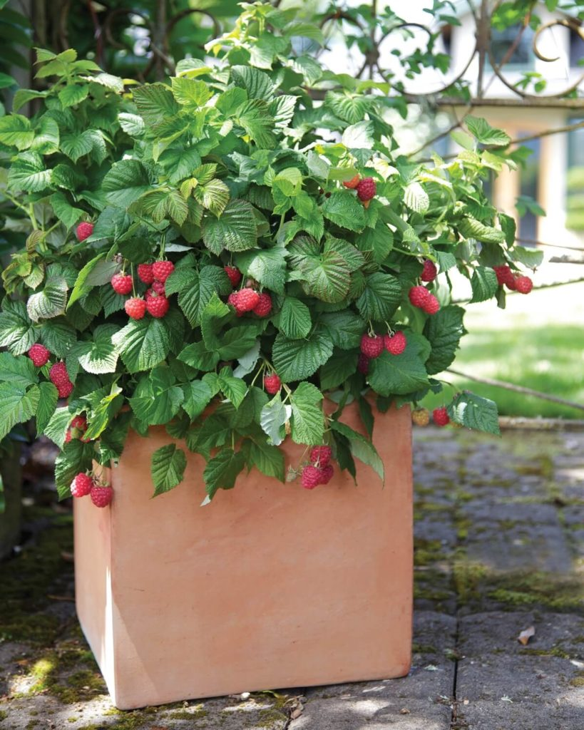 raspberries in a pot