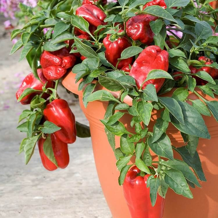 red bell peppers in a pot