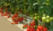 3 Tomato Growing Tips You Never Knew About