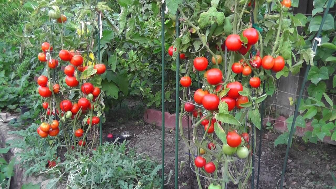 10 tips that will yield a lot of tomatoes 50 80 pounds plant instructions. Black Bedroom Furniture Sets. Home Design Ideas