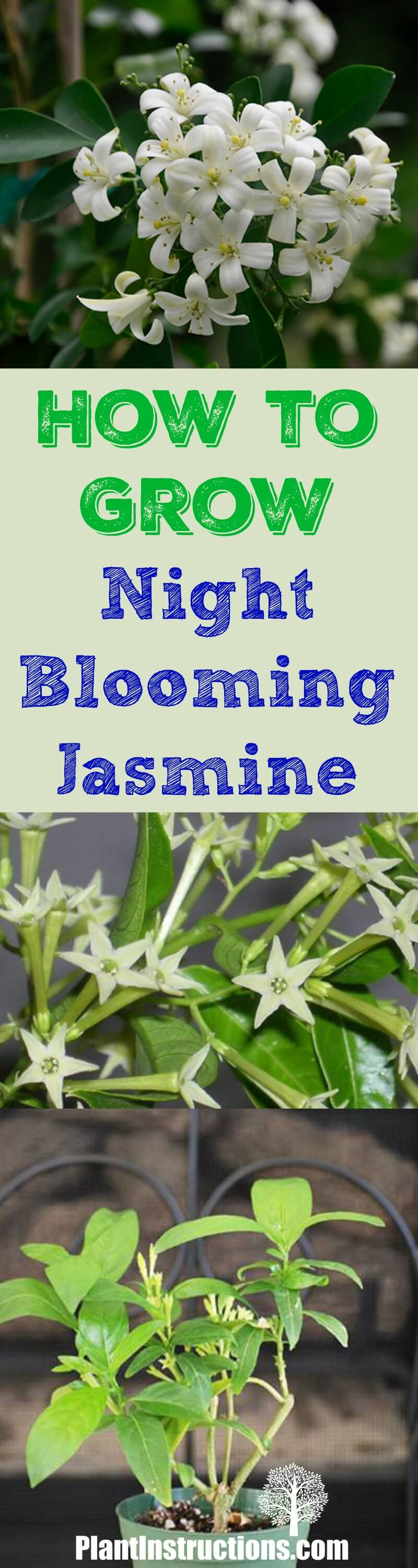 How to grow night blooming jasmine plant instructions grow night blooming jasmine izmirmasajfo
