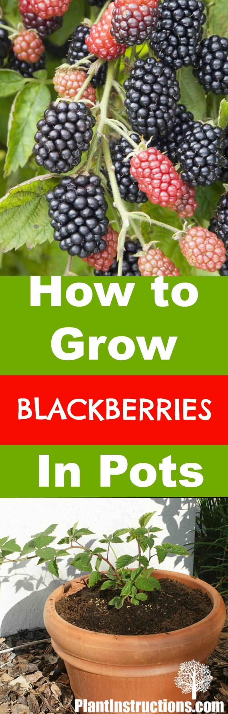 how to grow blackberries in pots plant instructions. Black Bedroom Furniture Sets. Home Design Ideas