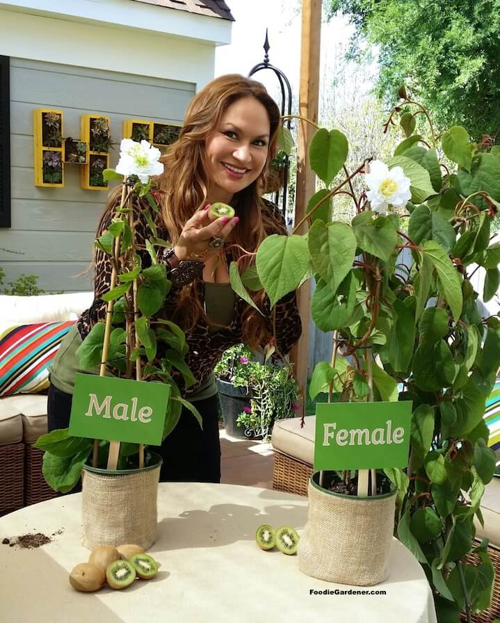 Best Fruits To Grow In Pots: How To Grow Kiwi In A Pot