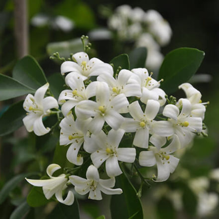night blooming jasmine in garden