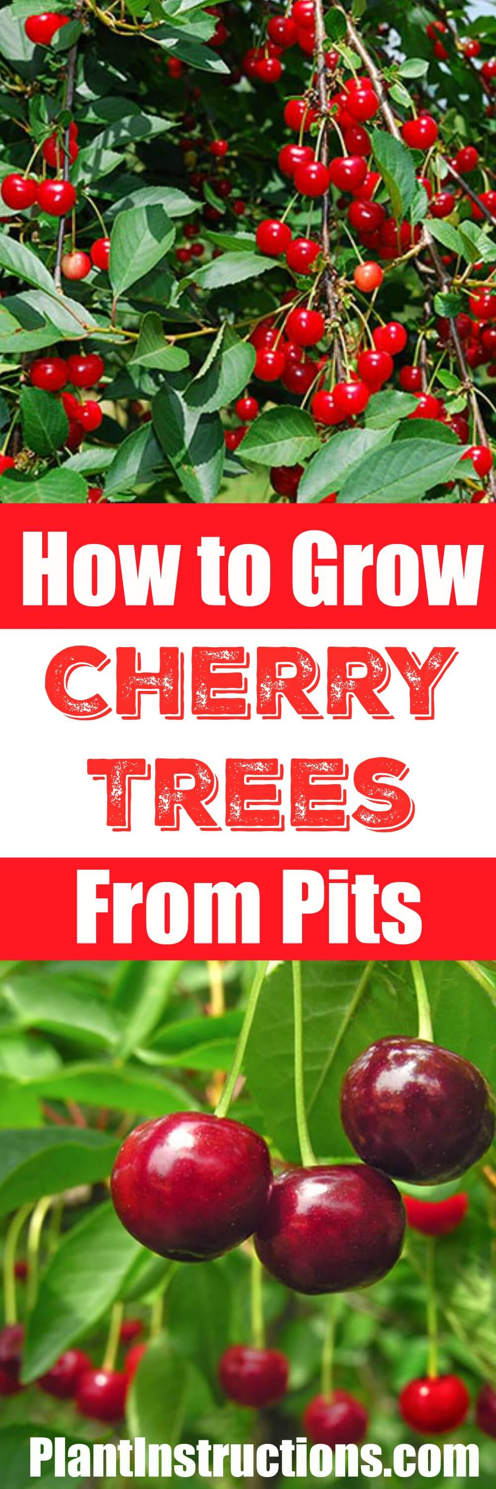 Learn how to grow a cherry tree from seeds! Perfect for USDA zones 4-9, a cherry tree will keep on giving and giving!