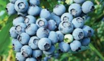 How to Grow Blueberries In  a Pot or in Your Garden